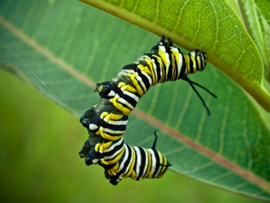 Monarch butterfly caterpillar_123160446
