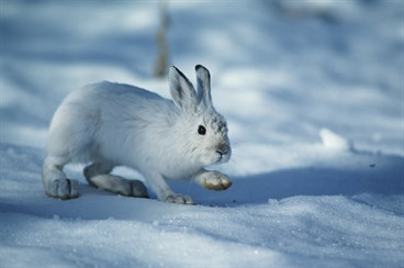 Snowshoe hare_200351500-001