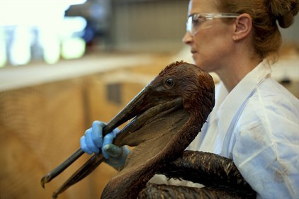 Scientist cleaning pelican during Gulf oil spill_IBRRC