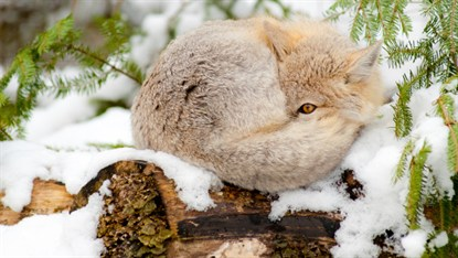 Fox sleeping_98063763