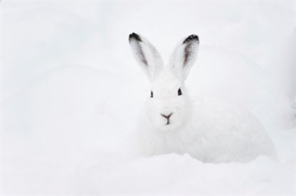 Mountain hare_96701996