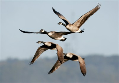 Geese migrating_95431132