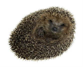 Hedgehog_125965496