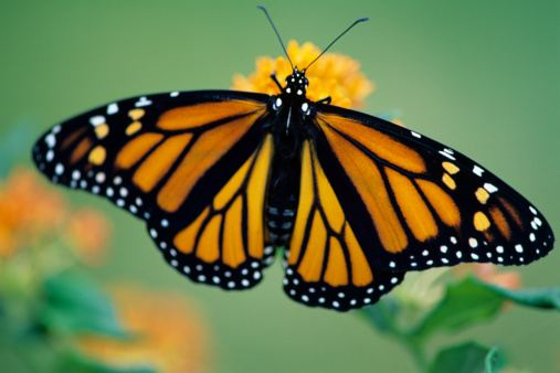 Monarch butterflies on the move