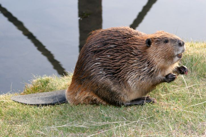 What's going on with beavers?