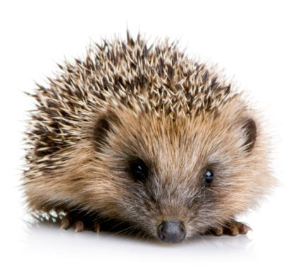 What do you know about hedgehogs?
