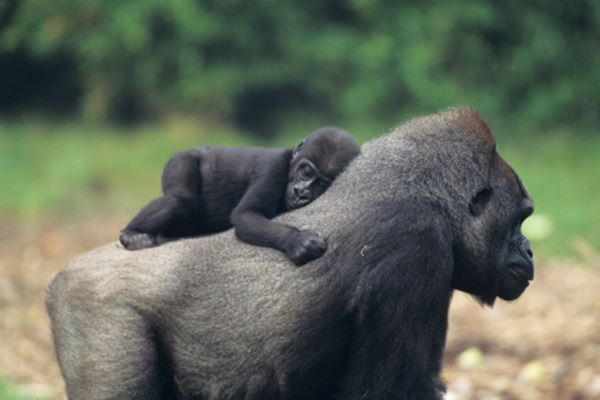 We're closer to gorillas than we thought