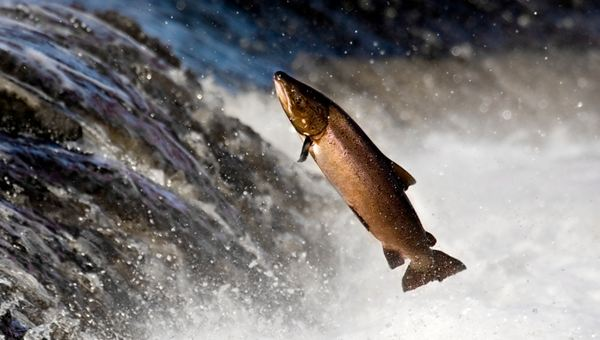 Salmon - an epic journey